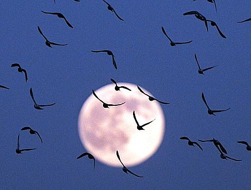 A flock of birds take flight over the City of Milford, Ohio as a full moon rises in the east sky. (AP Photo/The Cincinnati Enquirer, Ernest Coleman) ** NO SALES; MANDATORY CREDIT: THE CINCINNATI ENQUIRER, ERNEST COLEMAN **